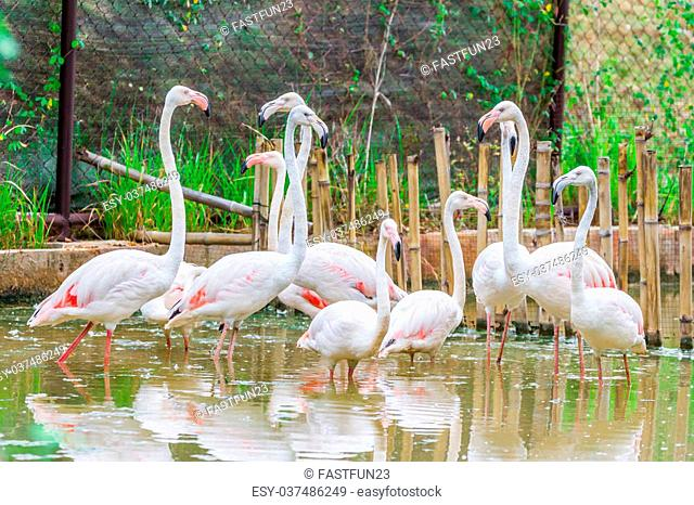 Group of pink caribbean flamingo standing