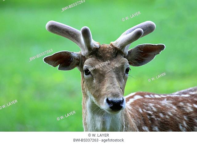 fallow deer (Dama dama, Cervus dama), male, velvet, Germany