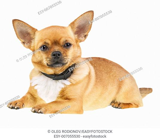 Chihuahua Dog in Anti Flea Collar Isolated on White Background. Closeup