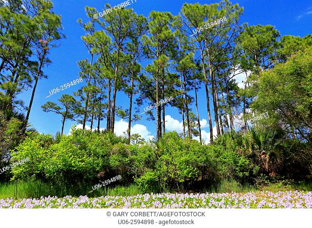 Pine flatwoods forest and pond in Florida, USA
