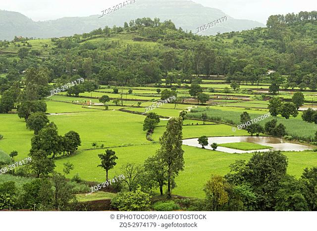 Landscape view of rice farming near Mulshi Dam, Pune, Maharashtra
