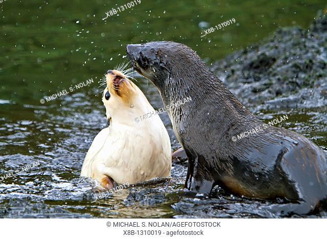 Leucistic (lack of melanin) or blond Antarctic Fur Seal pup (Arctocephalus gazella) on South Georgia, Southern Ocean. Around 95 of the world population breeds...