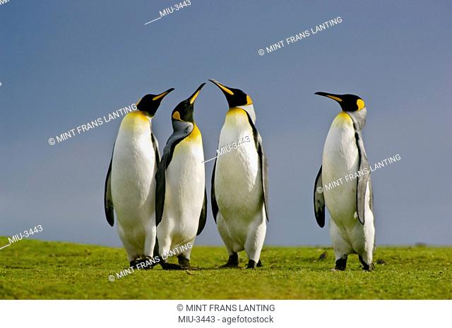 King penguins courting, Aptenodytes patagonicus, Falkland Islands