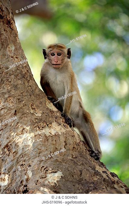 Red Monkey, Macaca sinica), adult on tree, Yala Nationalpark, Sri Lanka, Asia