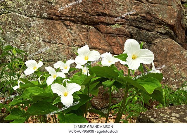 Large-flowered or common white trillium Trillium grandiflorum Rosseau Ontario Canada
