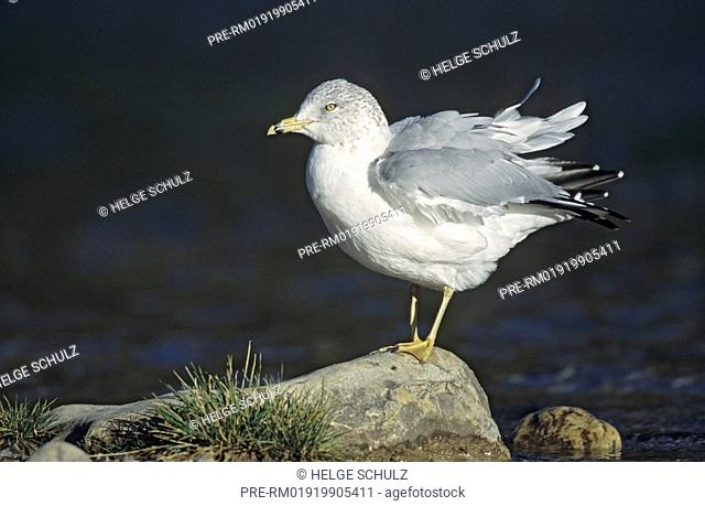 Ring-billed Gull, winter dress , Larus delawarensis