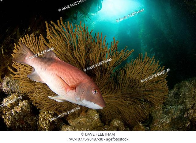 California, Catalina Island, A female sheephead Semicossyphus pulcher pictured in front of a gorgonian fan in a forest of giant kelp Macrocystis pyrifera