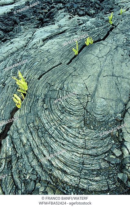 Plants growing in solidified Lava, Kona, Big Island, Hawaii, USA