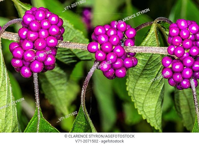 Beauty Berry Callicarpa americana