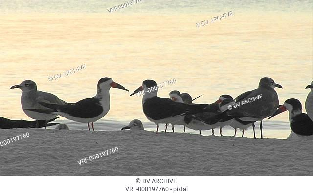 Terns sit in silhouette on a Florida beach
