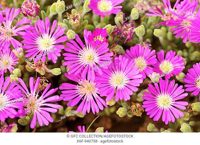 Rosae Ice Plant, Drosanthemum hispidum, Namaqualand, South Africa