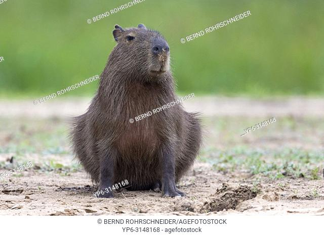 Capybara (Hydrochoerus hydrochaeris), adult sitting on riverbank, Pantanal, Mato Grosso, Brazil