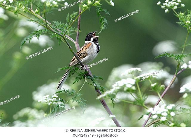 Reed bunting Emberiza schoeniclus, male perched on flowering hemlock, singing, Germany