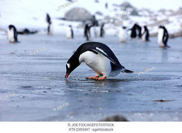 gentoo penguin pecking at fresh water ice at Neko Harbour Antarctica