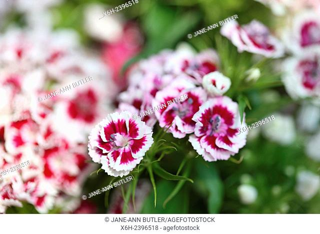 pretty red and white sweet williams - language of flowers ''gallantry'' ''a smile''