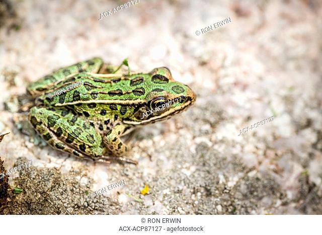 Northern Leopard Frog (Lithobates pipiens), Municipality of Gordon/Barrie Island on Manitoulin Island, Ontario, Canada