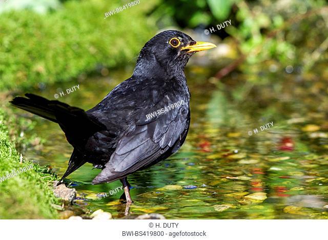 blackbird (Turdus merula), male at a brook, Germany, Mecklenburg-Western Pomerania