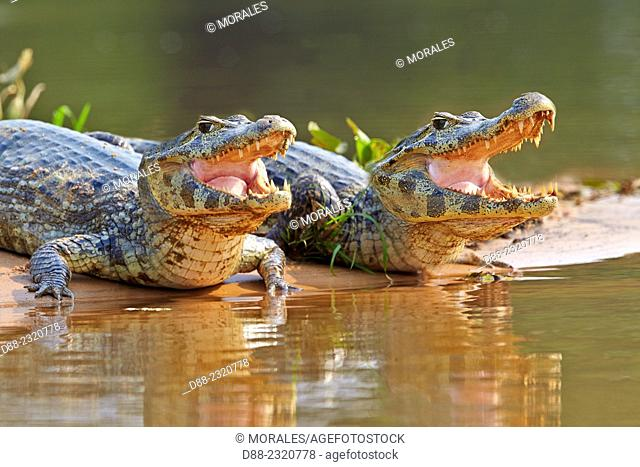 South America,Brazil,Mato Grosso,Pantanal area,Yacare caiman (Caiman yacare),resting on the bank of the river