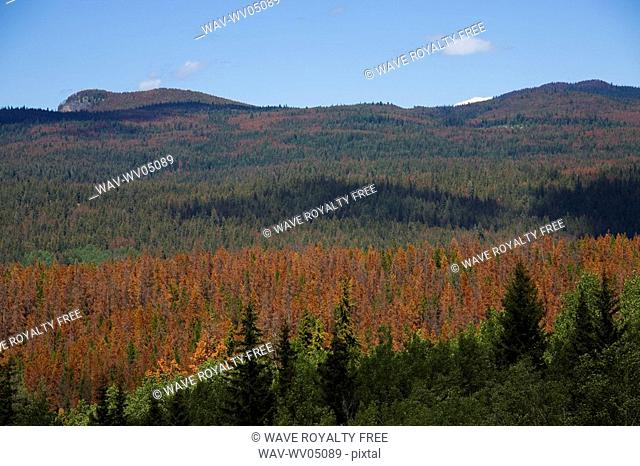 Pine trees attacked by the Lodgepole Pine Beetle, Alberta, Canada