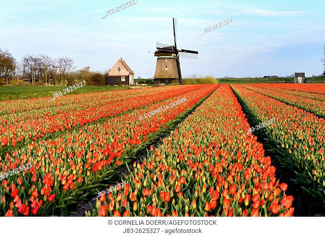 Field of tulips and traditional dutch windmill, Alkmaar, Netherlands, Europe