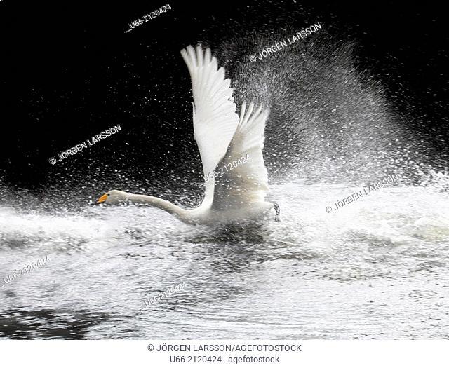 Whooper Swan, Söderåsen, Skåne, Sweden