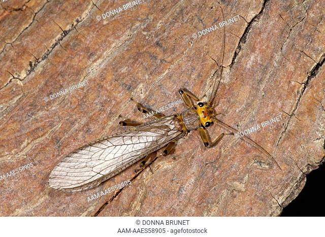 Stonefly, Plecoptera, attracted to light in reclaimed strip mine habitat. Finger Lakes State Park, Boone County, Missouri