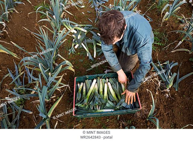 A woman stacking freshly pulled leeks in a crate in a field