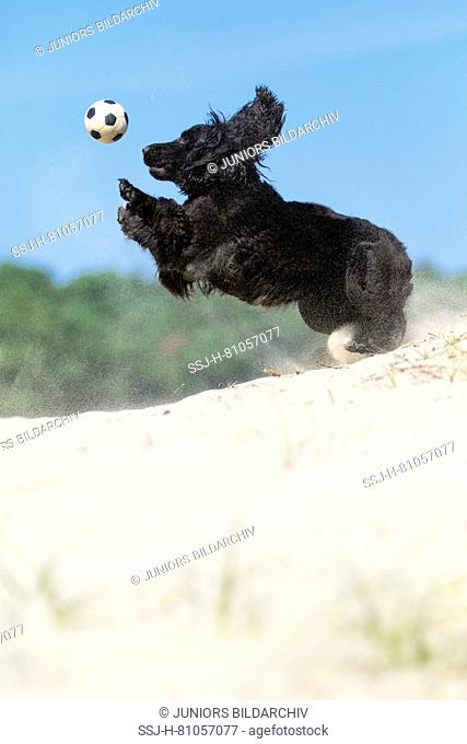 Black Cocker Spaniel playing with a ball on a sand dune. Soesterduinen, Netherlands