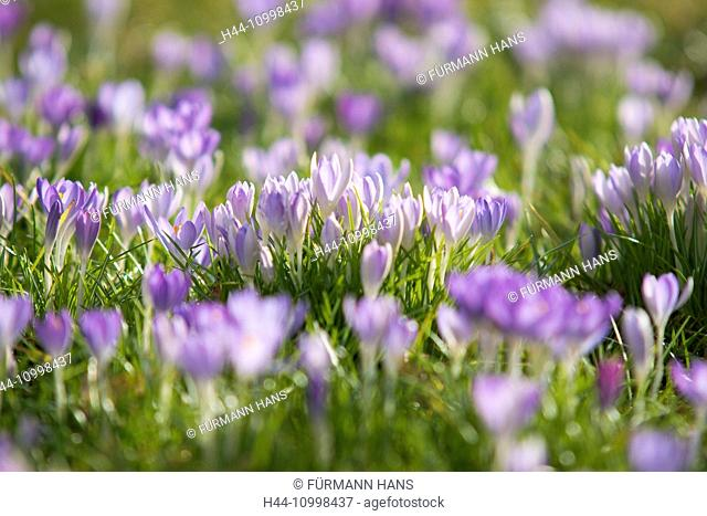mauve crocus in full blossom, flourish