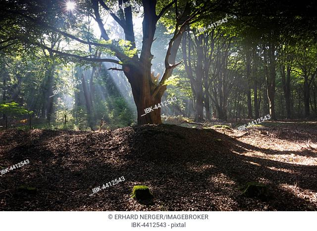 Sunbeams shining through tree trunks in forest, Emsland, Lower Saxony, Germany