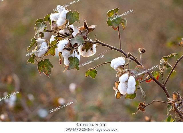Cotton farm in nagpur, maharashtra, india, asia