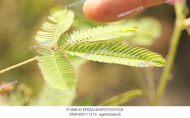 Mimosa pudica. Touching the plant
