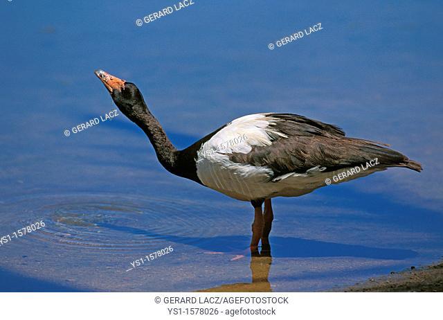 Magpie Goose, anseranas semipalmata, Adult drinking Water, Australia