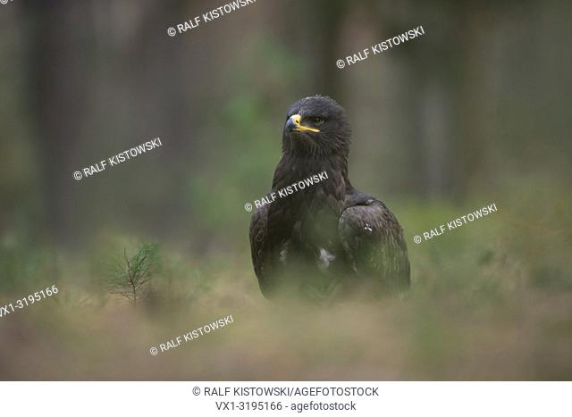 Steppe Eagle (Aquila nipalensis) sitting on the ground in front of the edge of a forest, watching around attentively, captive