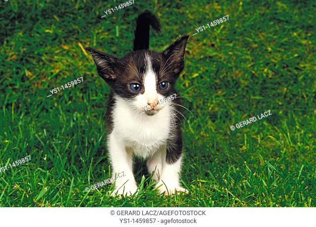 BLACK AND WHITE ORIENTAL DOMESTIC CAT, KITTING STANDING ON GRASS