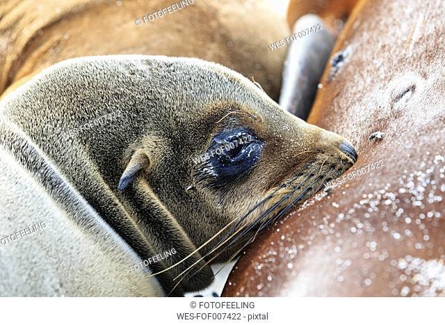 Ecuador, Galapagos Islands, Espanola, drinking sea lion baby