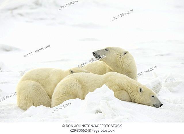 Polar Bear (Ursus maritimus) Mother and yearling cubs resting along the Hudson Bay coast, Wapusk NP, Cape Churchill, Manitoba, Canada