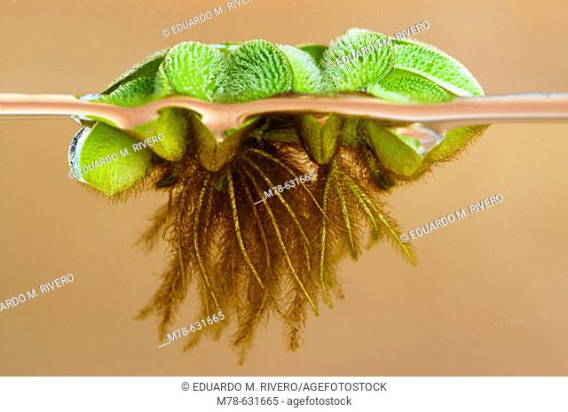 Floating Moss (Salvinia rotundifolia)
