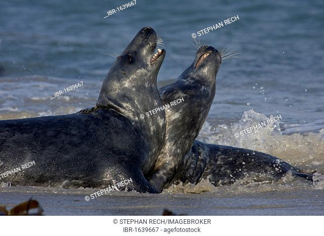 Grey seals (Helichoerus grypus), fighting on the beach of the island of Heligoland, Helgoland, Schleswig-Holstein, Germany, Europe