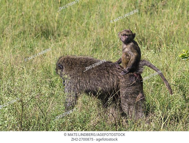 Baby baboon riding on his mothers back and looking in to the camera, Masai Mara, Kenya, Africa