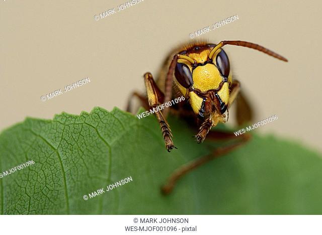European hornet on a green leaf