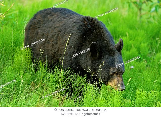 American Black bear (Ursus americanus) Feeding on roadside plants, Jasper National Park, Alberta, Canada