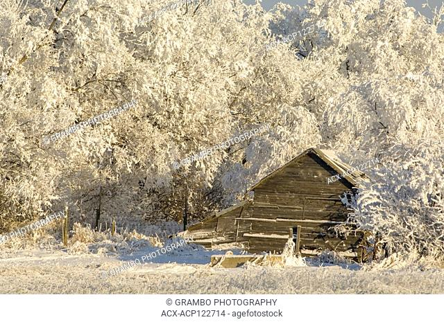 Old barn snuggled up to hoarfrost covered trees, Saskatchewan, Canada