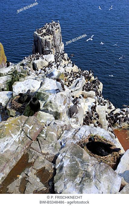 shag (Phalacrocorax aristotelis), nesting colony at the coast of Farne Islands, United Kingdom, England, Farne Islands