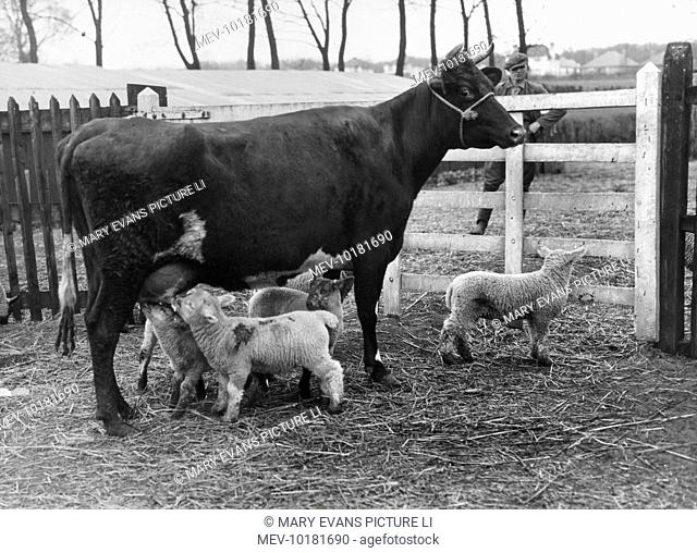 'Drink more Milk!' Mary the cow mothered nine lambs when two ewes died. The cow, who had lost her own calf, did this of her own accord and was very protective...