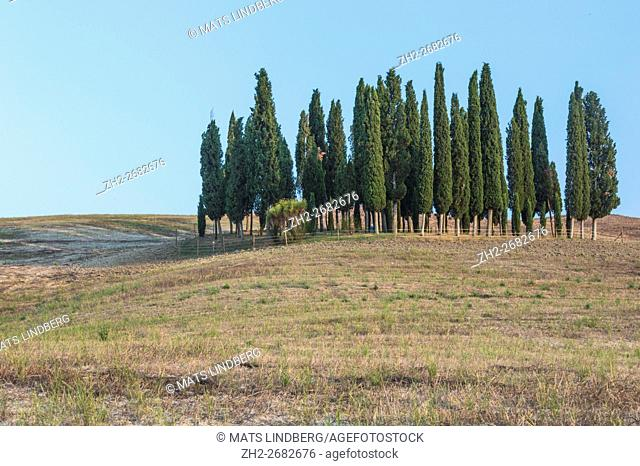 Cypress trees in San Quiricio d'Orcia in val d'Orcia, Tuscany, Italy