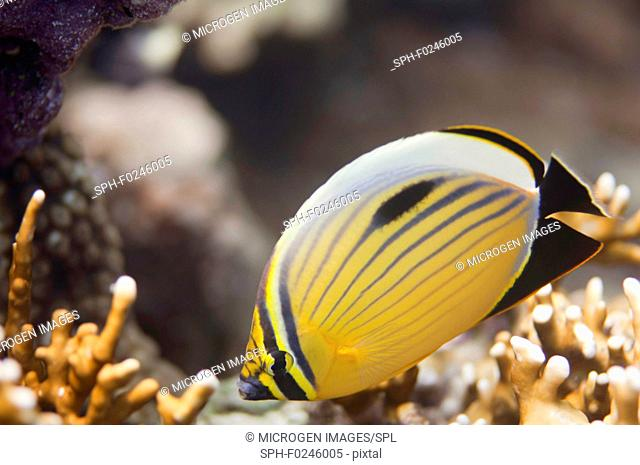 Polyp butterflyfish (Chaetodon Austriacus) swimming over fire corals in the Red Sea