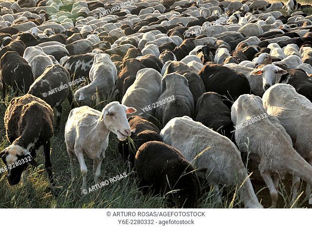 Flock of sheep in Muñoyerro (Ávila), Spain