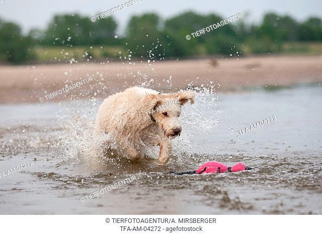 running Perro de Agua Espanol