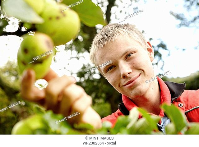 A young man reaching to pick cider apples from the bough of a tree in an orchard